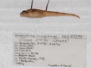 ( - ZMUB20399)  @12 [ ] Copyright (2012) University Museum of Bergen University of Bergen