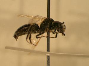 ( - JBWM0306522)  @13 [ ] Copyright (2008) J.B. Wallis Museum of Entomology, University of Manitoba J.B. Wallis Museum of Entomology, University of Manitoba