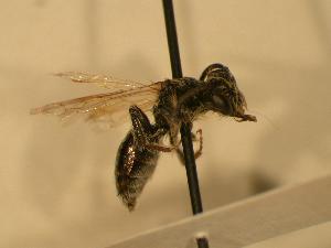 ( - JBWM0306523)  @13 [ ] Copyright (2008) J.B. Wallis Museum of Entomology, University of Manitoba J.B. Wallis Museum of Entomology, University of Manitoba