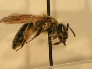 ( - JBWM0306548)  @13 [ ] Copyright (2008) J.B. Wallis Museum of Entomology, University of Manitoba J.B. Wallis Museum of Entomology, University of Manitoba