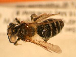 ( - JBWM0306550)  @13 [ ] Copyright (2008) J.B. Wallis Museum of Entomology, University of Manitoba J.B. Wallis Museum of Entomology, University of Manitoba