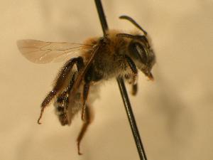 ( - JBWM0306551)  @13 [ ] Copyright (2008) J.B. Wallis Museum of Entomology, University of Manitoba J.B. Wallis Museum of Entomology, University of Manitoba