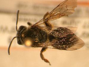 ( - JBWM0310030)  @11 [ ] Copyright (2008) Unspecified J.B. Wallis Museum of Entomology, University of Manitoba