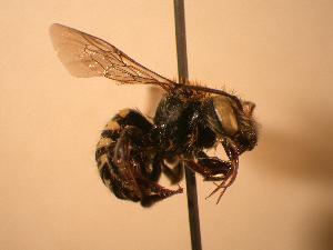 (Anthidium clypeodentatum - JBWM0311683)  @13 [ ] Copyright (2008) J.B. Wallis Museum of Entomology, University of Manitoba J.B. Wallis Museum of Entomology, University of Manitoba