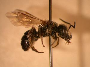 ( - JBWM0311933)  @12 [ ] Copyright (2008) J.B. Wallis Museum of Entomology, University of Manitoba J.B. Wallis Museum of Entomology, University of Manitoba