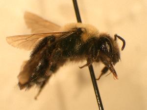 ( - JBWM0316136)  @11 [ ] Copyright (2008) J.B. Wallis Museum of Entomology, University of Manitoba J.B. Wallis Museum of Entomology, University of Manitoba