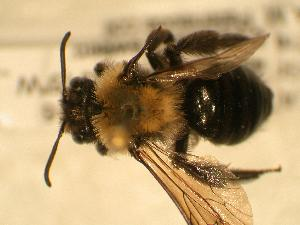 ( - JBWM0316139)  @11 [ ] Copyright (2008) J.B. Wallis Museum of Entomology, University of Manitoba J.B. Wallis Museum of Entomology, University of Manitoba