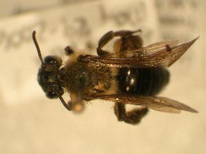 ( - JBWM0316143)  @13 [ ] Copyright (2008) J.B. Wallis Museum of Entomology, University of Manitoba J.B. Wallis Museum of Entomology, University of Manitoba