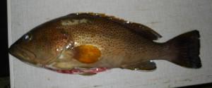 (Epinephelus albomarginatus - ADC12_166.33 #6)  @11 [ ] CreativeCommons - Attribution (2012) Allan D Connell Allan D Connell