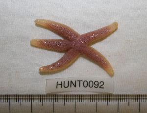 (Henricia sp. AAB9183 - HUNT0092)  @14 [ ] CreativeCommons - Attribution Non-Commercial Share-Alike (2012) Unspecified Centre for Biodiversity Genomics
