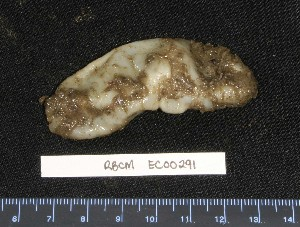 (Pseudostichopus - RBCM EC00291)  @14 [ ] CreativeCommons - Attribution Non-Commercial Share-Alike (2010) Unspecified Biodiversity Institute of Ontario