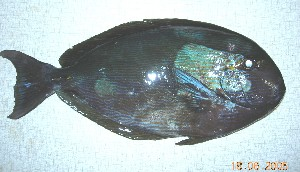 (Acanthurus mata - Smith 243.5 #1)  @13 [ ] CreativeCommons - Attribution Non-Commercial Share-Alike (2011) Allan D. Connell Research Collection of Allan Connell