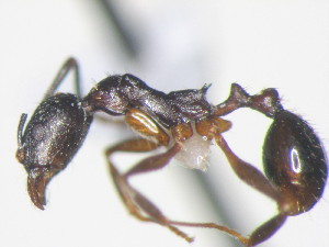 (Aphaenogaster rudis - HF2009.012)  @16 [ ] Unspecified (default): All Rights Reserved  Unspecified Unspecified