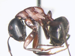 (Camponotus novaeboracensis - HF2009.009)  @13 [ ] Unspecified (default): All Rights Reserved  Unspecified Unspecified
