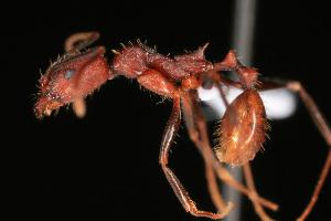 (Aphaenogaster sp - NCSU-DF0006)  @14 [ ] Unspecified (default): All Rights Reserved  Unspecified Unspecified