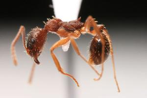 (Aphaenogaster sp - NCSU-DF0033)  @14 [ ] Unspecified (default): All Rights Reserved  Unspecified Unspecified