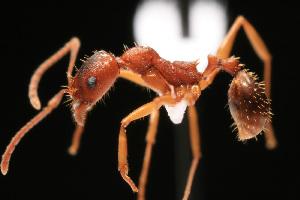 (Aphaenogaster sp - NCSU-DF0042)  @14 [ ] Unspecified (default): All Rights Reserved  Unspecified Unspecified