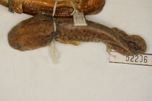 (Ambystoma mavortium - MCZ Herp A-52206)  @11 [ ] Unspecified (default): All Rights Reserved  Unspecified Unspecified