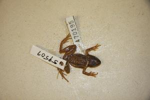 (Pseudacris feriarum - USNM 470195)  @11 [ ] Copyright (2013) Unspecified Biodiversity Institute of Ontario