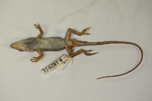 (Anolis carolinensis - MCZ Herp R-182971)  @11 [ ] Copyright (2013) Unspecified Biodiversity Institute of Ontario