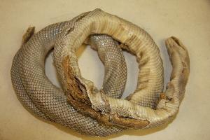 (Bogertophis - USNM 240225)  @11 [ ] Copyright (2013) Unspecified Biodiversity Institute of Ontario