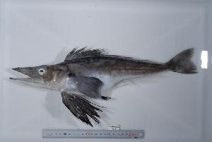 (Neopagetopsis - si252n1678)  @14 [ ] Copyright (2008) MNHN-CEAMARC Muséum national d'Histoire naturelle, CEAMARC