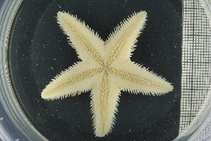 (Astropecten irregularis - ZMBN_106363)  @11 [ ] Creative Commons-by-nc-sa (2016) University of Bergen Natural History Collections