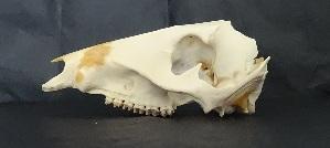 (Tayassuidae - ECO-SC-M 5721)  @13 [ ] CreativeCommons - Attribution Non-Commercial Share-Alike (2013) Consuelo Lorenzo M. El Colegio de la Frontera Sur
