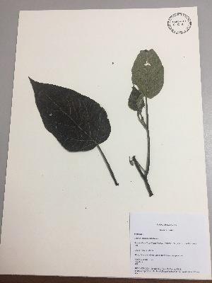(Solanum cajanumense - RLJ-11035)  @11 [ ] copyright (2017) Unspecified Columbus State University