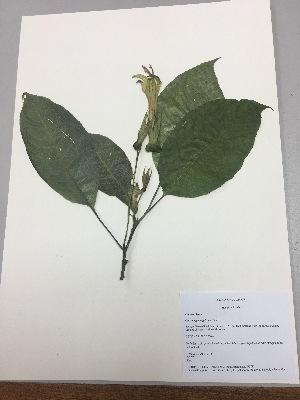 (Centropogon nigricans - RLJ-11151)  @11 [ ] copyright (2017) Unspecified Columbus State University