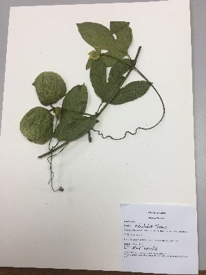 (Passiflora edulis - RLJ-11160)  @11 [ ] copyright (2017) Unspecified Columbus State University