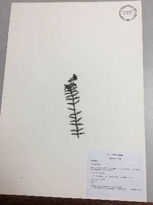 (Arcytophyllum - RLJ-11175)  @11 [ ] copyright (2017) Unspecified Columbus State University