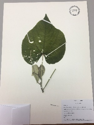 (Bastardiopsis - RLJ-11206)  @11 [ ] copyright (2017) Unspecified Columbus State University
