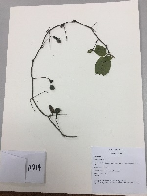 (Passiflora alnifolia - RLJ-11214)  @11 [ ] copyright (2017) Unspecified Columbus State University