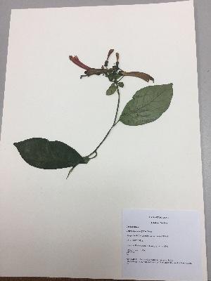 (Centropogon solanifolius - RLJ-11304)  @11 [ ] copyright (2017) Unspecified Columbus State University
