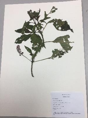 (Phytolacca bogotensis - RLJ-11305)  @11 [ ] copyright (2017) Unspecified Columbus State University