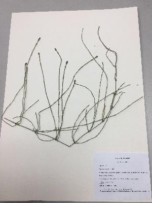 (Equisetum bogotense - RLJ-11320)  @11 [ ] copyright (2017) Unspecified Columbus State University