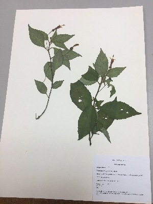 (Centropogon llanganatensis - RLJ-11329)  @11 [ ] copyright (2017) Unspecified Columbus State University