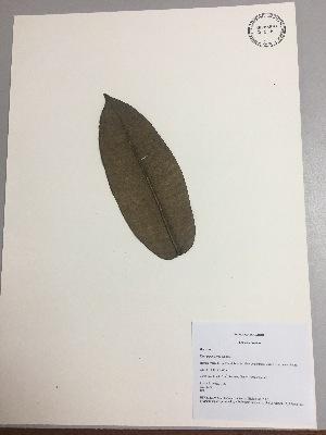 (Ficus gigantosyce - RLJ-11337)  @11 [ ] copyright (2017) Unspecified Columbus State University
