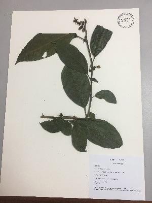 (Solanum nutans - RLJ-11374)  @11 [ ] copyright (2017) Unspecified Columbus State University
