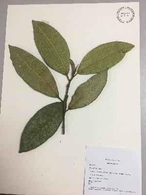 (Ficus dulciaria - RLJ-11385)  @11 [ ] copyright (2017) Unspecified Columbus State University