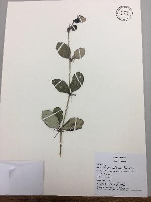 (Berberis cf. grandifolia - RLJ-11407)  @11 [ ] copyright (2017) Unspecified Columbus State University