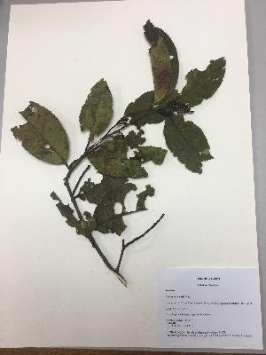 (Prunus huantensis - RLJ-11415)  @11 [ ] copyright (2017) Unspecified Columbus State University
