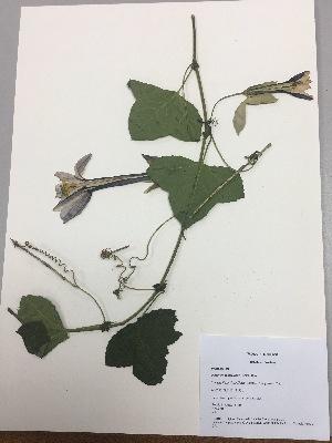 (Passiflora cumbalensis - RLJ-11419)  @11 [ ] copyright (2017) Unspecified Columbus State University