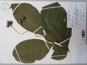 (Solanum malletii - AP-9209)  @11 [ ] copyright (2098) Unspecified Columbus State University