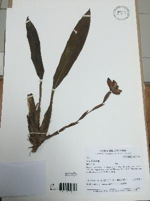 (Maxillaria - AP-5177)  @11 [ ] Copyright (2014) Unspecified Columbus State University