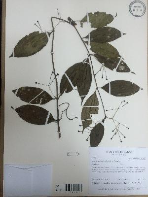 (Monimiaceae - AP-3438)  @11 [ ] copyright (2015) Unspecified Columbus State University