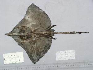(Dipturus nidarosiensis - BPS-0958)  @14 [ ] Copyright (2005) Samuel P. Iglesias 2009 Unspecified