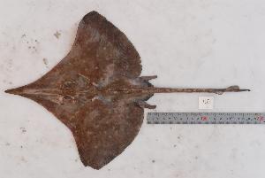 (Dipturus oxyrinchus sp1 - BPS-1615)  @14 [ ] Copyright (2010) Samuel P. Iglesias 2009 Unspecified