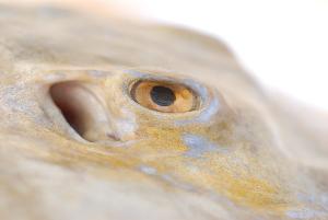 ( - BPS-1399)  @12 [ ] Copyright  Samuel P. Iglesias Museum national d'Histoire naturelle